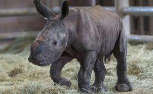 Un rhinocéros blanc du sud conçu par insémination artificielle est né au zoo de San Diego le 28 juillet 2019.