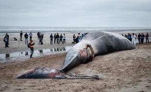 La baleine s'est échouée sur la plage du Coq en Belgique jeudi 25 octobre 2018.