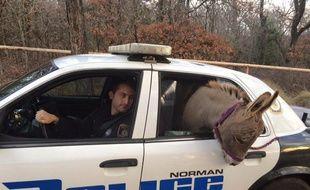 Un âne est ramené chez lui dans une voiture de police, le 1er décembre, dans le district de Norman dans l'Oklahoma.