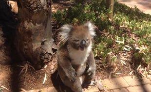 Capture d'écran d'une vidéo YouTube montrant une femelle koala pleurer après s'être fait pousser de son arbre par un mâle, en Australie.