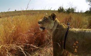 Une GoPro attachée sur le dos d'une lionne.