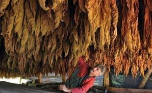 Christian Carrier, a French farmer checks the drying of tobacco leafs on November 2, 2010 at his farm in Saint-Laurent-la-Valee, southern France. AFP PHOTO PIERRE ANDRIEU