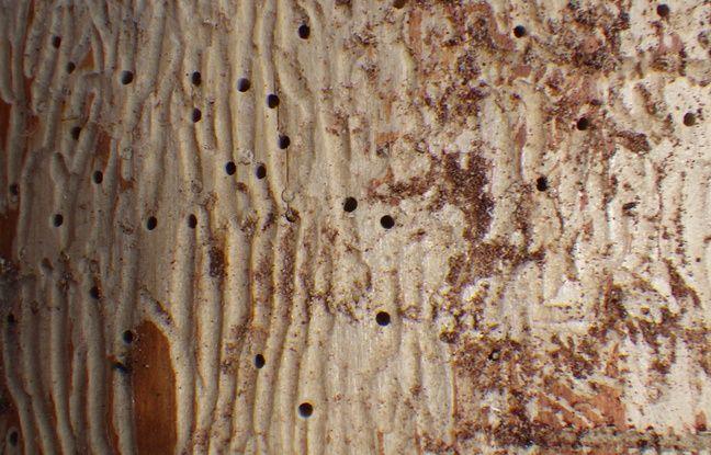 Un tronc touché par les scolytes. Ces insectes ne s'attaquent pas aux épicéas les plus petits.