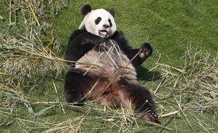 La femelle panda, HaoHao, dans son enclos au Parc Pairi Daiza en Belgique.