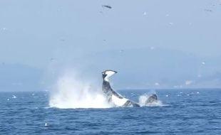 Une orque propulse un phoque à 25 mètres de hauteur, près de Victoria, au Canada.