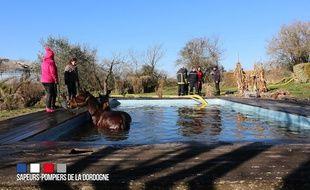Les deux chevaux dans la piscine avant le sauvetage.