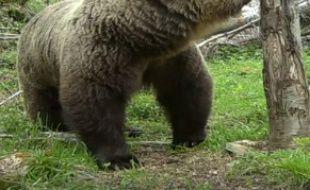 Un ours filmé le 24 mai dans les Pyrénées.