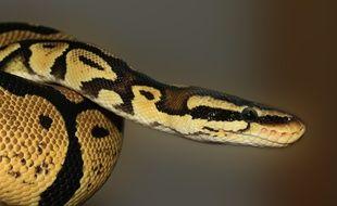 Illustration d'un python.