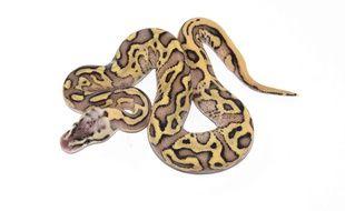 Illustration d'un python royal.