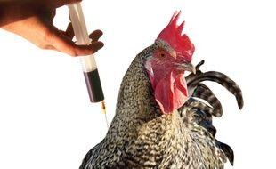 Ilustration grippe aviaire