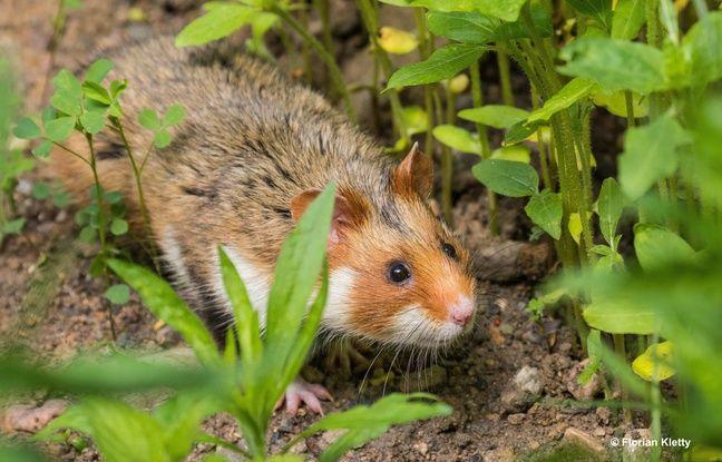 D'un longueur d'une vingtaine de centimètres, le grand hamster d'Alsace a un pelage roux sur le dos, noir sur le vente, et quelques tâches blanches.