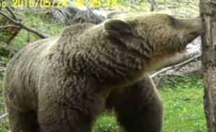 Un ours filmé dans les Pyrénées.