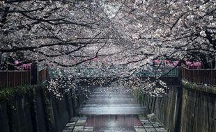 Des cerisiers en fleur dans un parc de Tokyo, pendant l'hanami