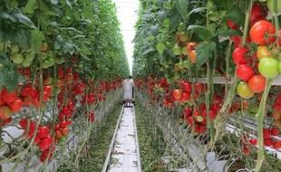 Dans les Serres de Bessières où sont cultivées des tomates grâce à l'énergie issue de l'incinérateur voisin.