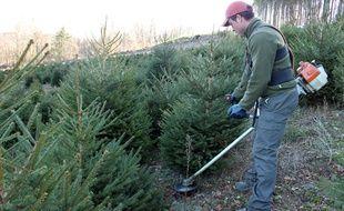 Un épicéa est coupé le 1er décembre 2016 pour devenir un sapin de Noël, dans le Morvan.