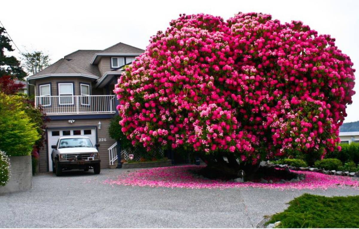 La ville de Ladysmith abrite un rhododendron géant.  – Capture d'écran - Ladysmith Facebook