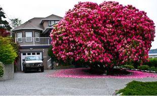 La ville de Ladysmith abrite un rhododendron géant.