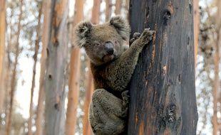 Un koala survivant des incendies qui ont touché le sud de l'Australie à l'hiver 2019