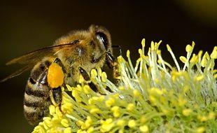 L'agriculture bio est favorable à l'épanouissement des abeilles, selon une étude (illustration).