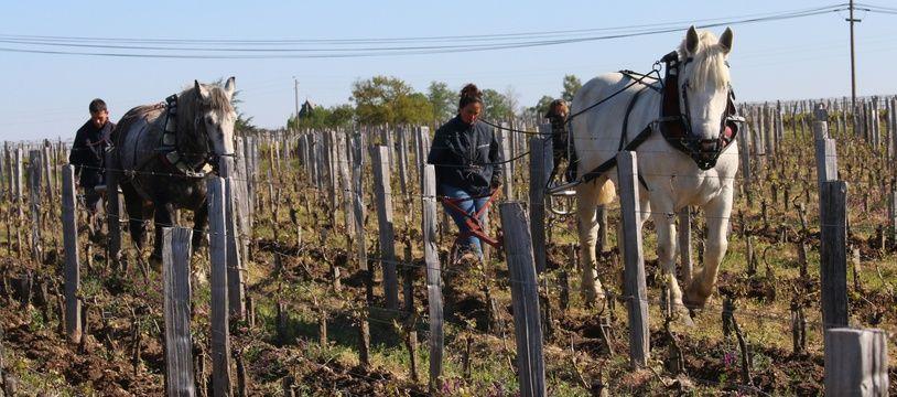 Autour de Saint-Emilion, Cheval des vignes propose le labour à cheval aux propriétés viticoles