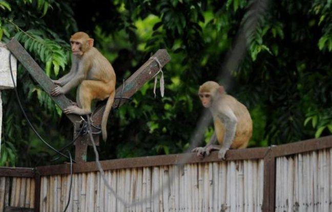 648x415 singes portail arriere cour maison a new delhi inde 5 aout 2014