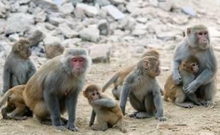 Des femelles et jeunes macaques rhésus à Bharatpur (Rajasthan).