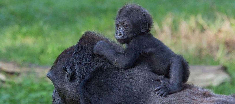 Une maman gorille et son petit, ici, au zoo de San Francisco. Photo d'illustration.