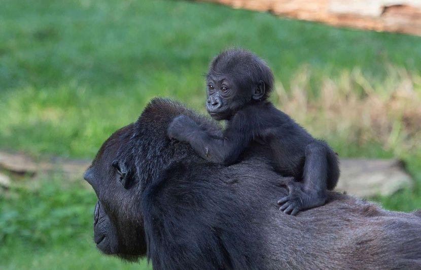 Ce selfie de deux gorilles debout comme des humains révèle une triste réalité