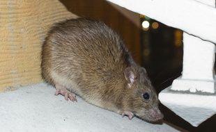Un rat (illustration).
