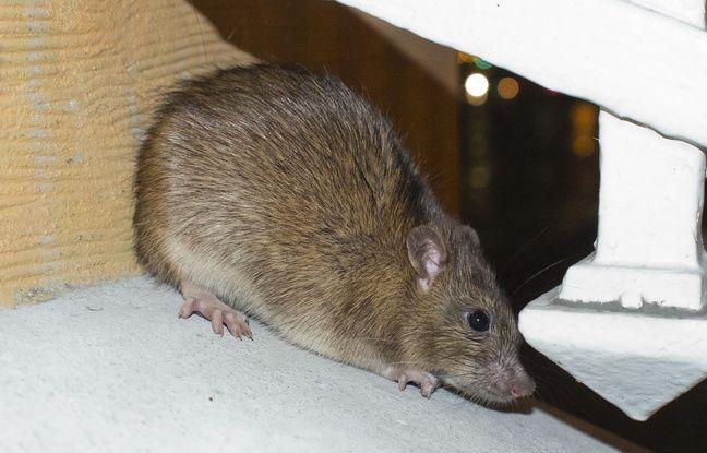Brest: Une piscine fermée à cause de la présence de rats