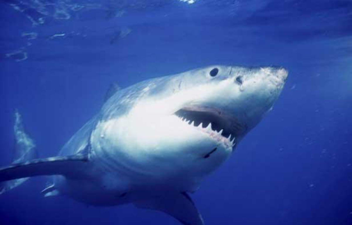 Un requin blanc. – SUPERSTOCK/SIPA