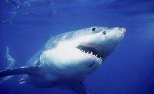 Un requin blanc au large de l'Australie.