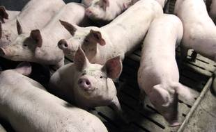 Illustration d'un élevage de porcs, ici près de Rennes, en 2015.