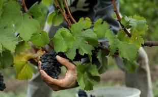 La récolte du raisin dans une vigne (illustration).