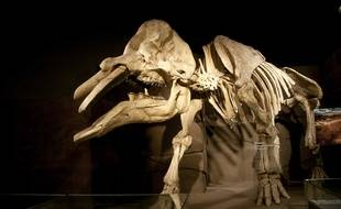 Le crâne découvert pourrait être celui d'un  Gomphotherium, comme ce specimen du Royal Tyrrell Museum, au Canada.