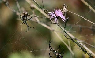 Des araignées jaunes et noires de jardin.