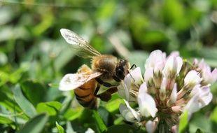 Une abeille butinant un trèfle.
