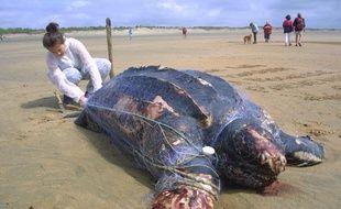 Cette tortue Luth a été trouvée le 21 juillet 2011 sur une plage de l'Ile d'Oléron, emmaillée dans un filet de pêche