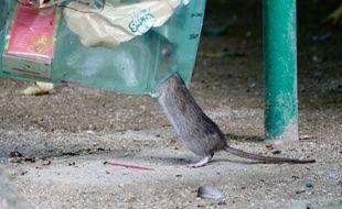 Rats fouillant dans une poubelle à coté de la Cathédrale Notre-Dame de Paris en 2017.