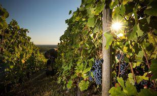 Illustration de vignes, ici en Bourgogne.