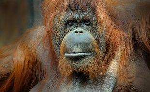 Orang?outan de Bornéo femelle adulte