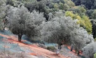Des oliviers sur la commune de Sainte-Lucie-de-Tallano, en Corse, le 4 novembre 2014