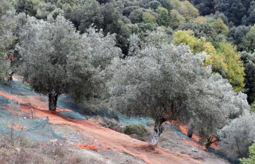 Côte d'Azur: Des oléiculteurs opposés à l'arrachage systématique des oliviers touchés par la Xylella fastidiosa