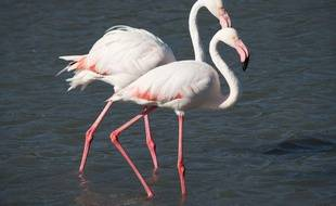 Un flamant rose. Zeppelin/ ZIPA