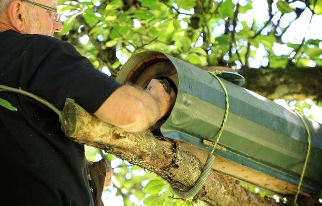 Un nichoir antiprédation manipulé par un bénévole de la LPO en Alsace.