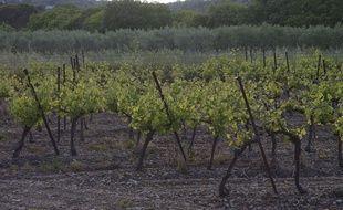Vignoble du Languedoc-Roussillon. (Illustration).