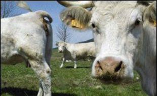 """Après la Belgique, les Pays-Bas et l'Allemagne, touchés par la fièvre catarrhale du mouton, la France pourrait être à son tour confrontée à une menace d'épidémie de la maladie de la """"langue bleue"""", après la découverte du virus sur deux vaches laitières dans le nord de la France."""
