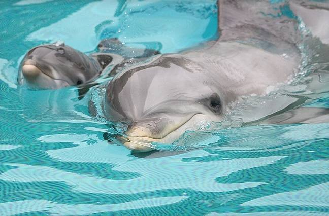 Maman dauphin et sa petite.