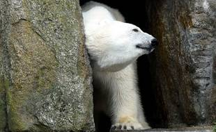 Les attaques d'ours polaires restent très rares. La dernière dans la région de Nunavut remonte à l'année 2000.