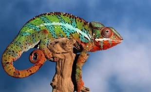 Illustration: un caméléon.